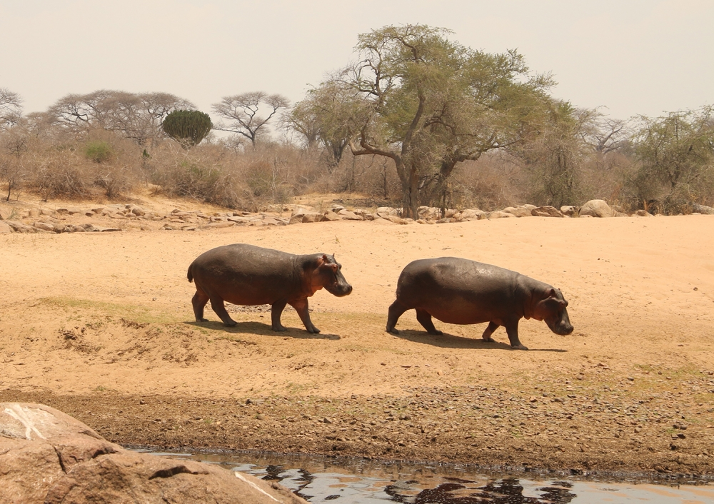 Two hippos walk on the dry bank of the river pool, with trees in the background