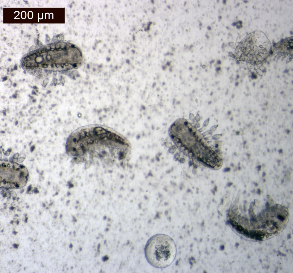 Larval Portunion conformis under magnification, the same species of parasitic isopod that Kuris studied in 1969.