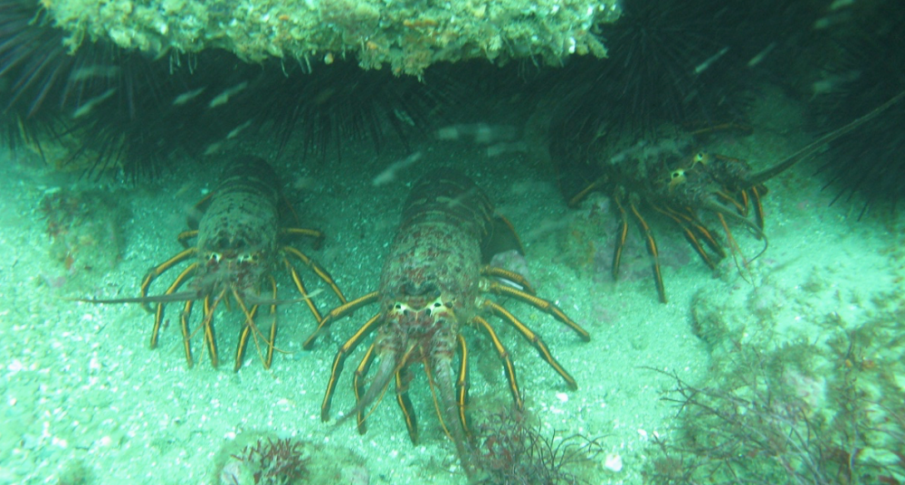 Three California spiny lobster beneath an underwater crevice.