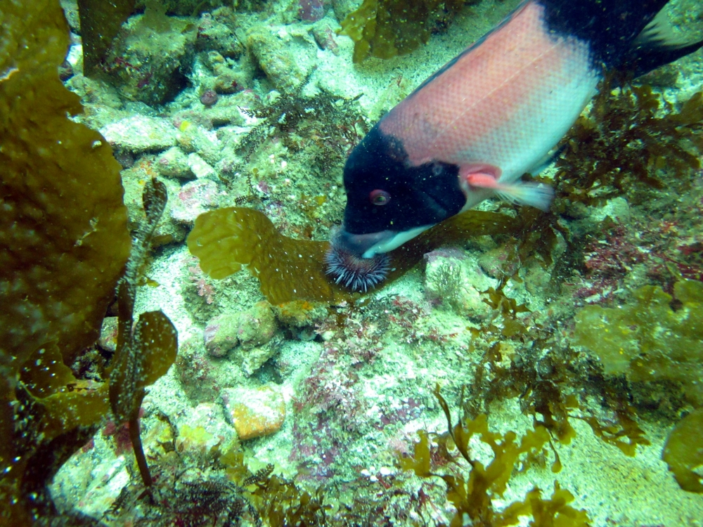 Sheephead fish eating an urchin
