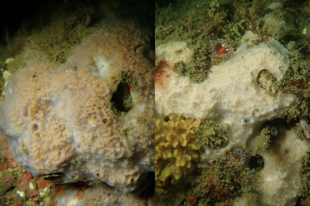 S. jali (left) and S. nausicae (right)