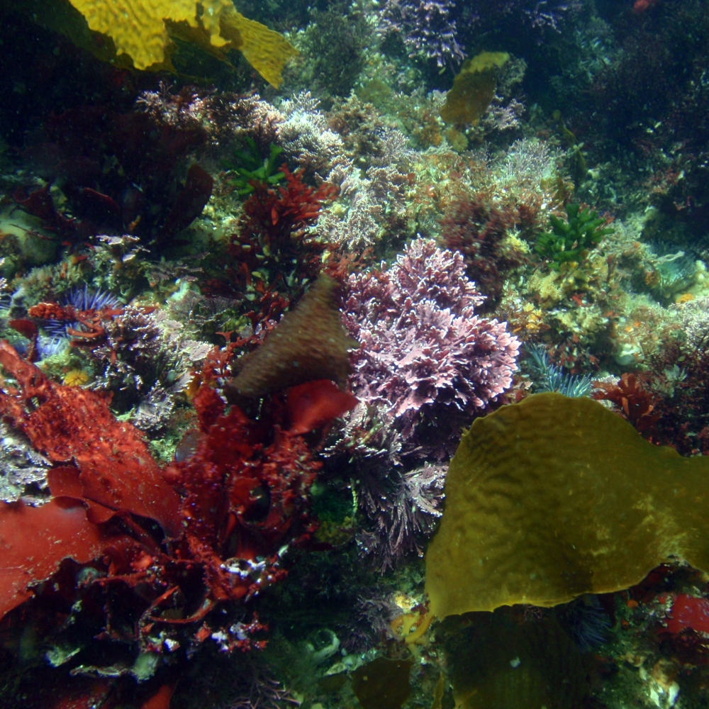 The kelp forest understory comprises many different species of algae.