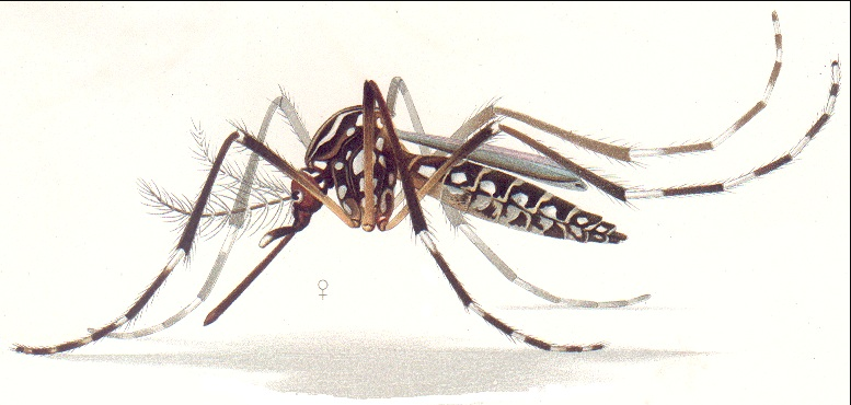 A detail from a color print of a female Aedes aegypti.