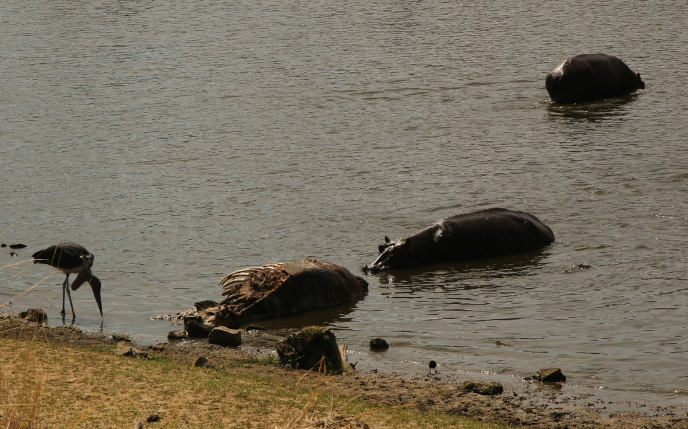 A stork and two hippos wade in the water near a carcass.