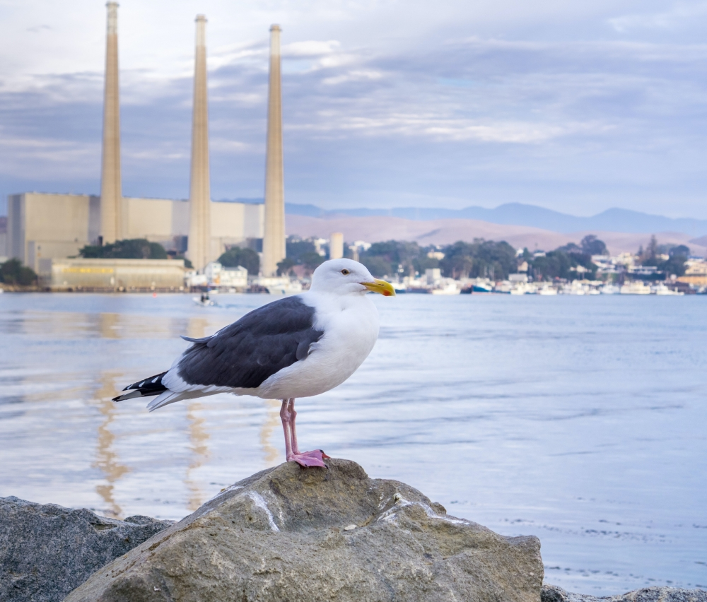 A gull rests on a rock with the retired Morro Bay Power Plant in the background