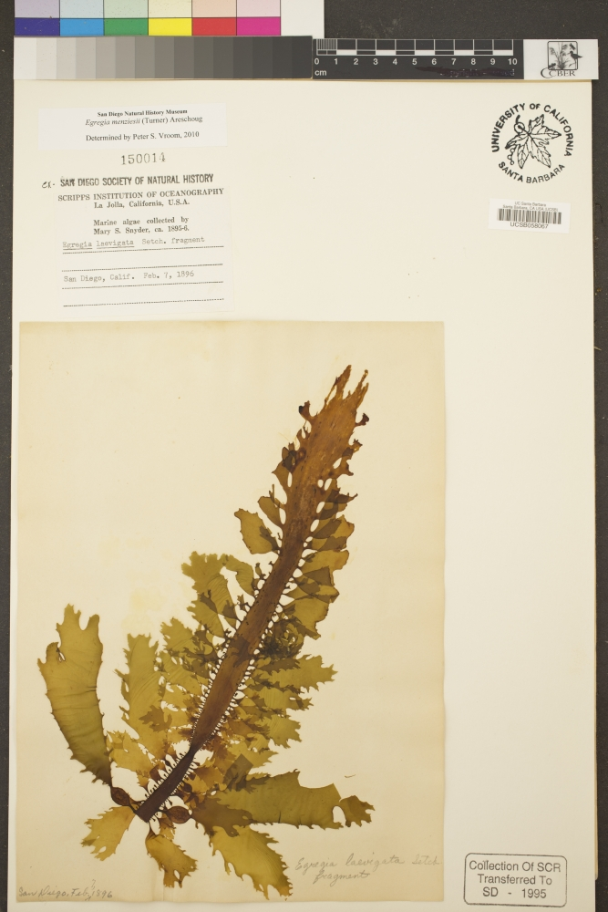 A mounted feather boa kelp specimen from 1896