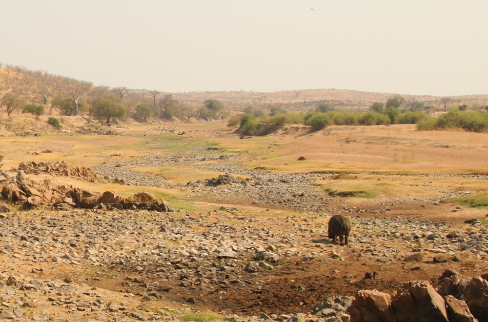 A lone hippo wanders along a dry riverbed.