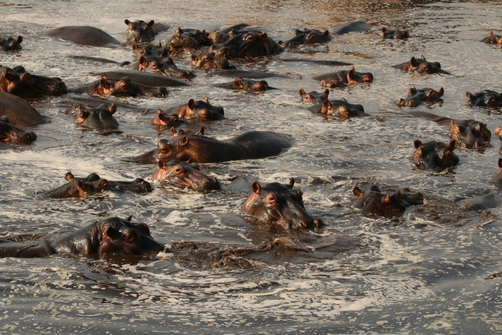 A large group of hippos sits in the water, just peeking above the surface