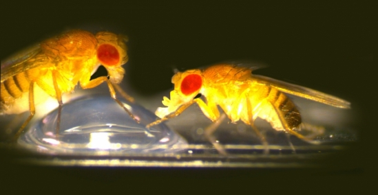 Fruit flies feeding