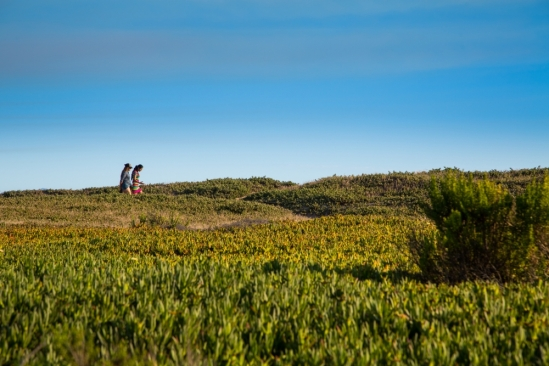 Walkers traverse ice plants at UCSB's Campus Point