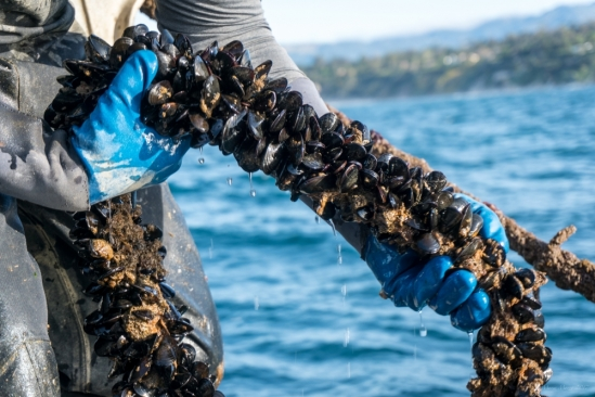 Farmed mussels