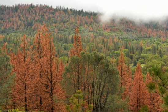pine forest drought