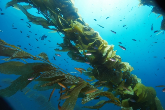 Various fishes swim among the fronds of giant kelp, swaying in the current at Naples Reef, Goleta.