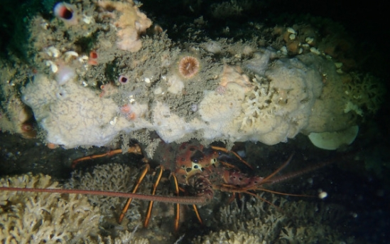 A California spiny lobster takes refuge in a crevice beneath the faintly pattered Scopalina jali, one of the new species of sponge described in this paper.