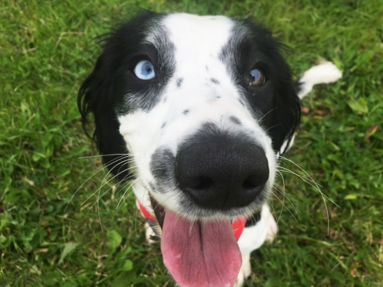 dog with one blue eye and one brown eye