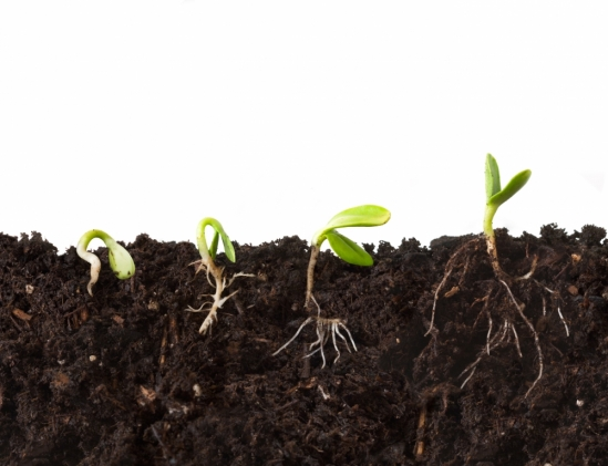 cutaway of seedlings and roots in progressive stages