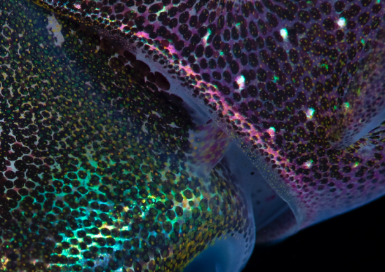 iridescent squid skin