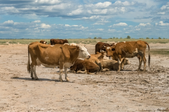 Modern red cows on the Russian steppe, onetime home of the Yamnaya