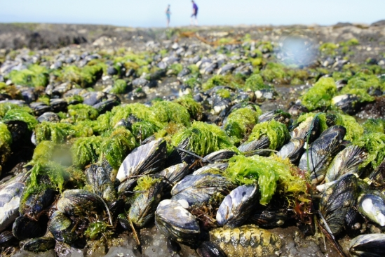 mussels in the rocky intertidal zone