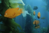Garibaldis in a kelp forest