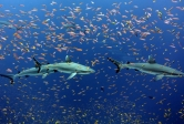 Grey reef sharks and anthias near Jarvis Island