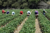 Farm workers pick strawberries in California