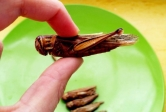 edible insect