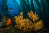 Garibaldi in kelp forest