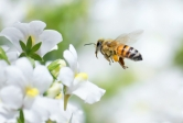 Researchers provide insights into the sustainability and resilience of managed versus wild pollinators