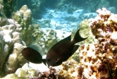Two striated surgeonfish on the reef