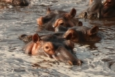 A bloat of hippos takes refuge in a remaining pool along the Great Ruaha River during the dry season.