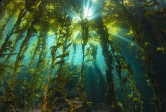 Sunlight filters down through a canopy of giant kelp to the understory algae below.