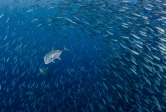 Two trevally swim through a school of forage fish in Palau.