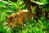 Jaguar moves in the Amazon