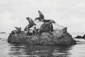 California sea lions haul out on a rock on Santa Catalina Island