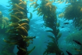 Kelp forest in Santa Barbara Channel