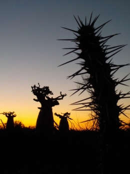 Sunset casts sihouettes of baobab trees and spiky succulents in Madagascar's spiny forest.