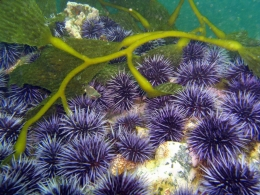 Purple sea urchins