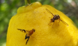 Craig Montell and his research team identify the sour taste receptor in fruit flies