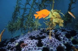 An orange fish and swims above scores of red and purple urchins on a rock. Several smaller fish dart by on the periphery with fronds of giant kelp in the midground.