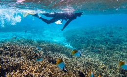 A variety of reef fishes swim among the staghorn coral in Mo'orea, French Polynesia as a researcher swims overhead.