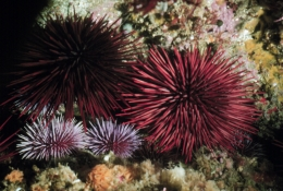 A pair of red sea urchins settled among several of their smaller relatives, the purple sea urchin