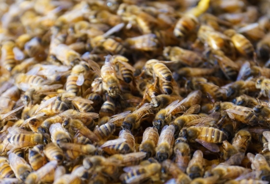 bees close up