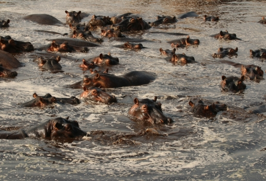 Large aggregation of hippos