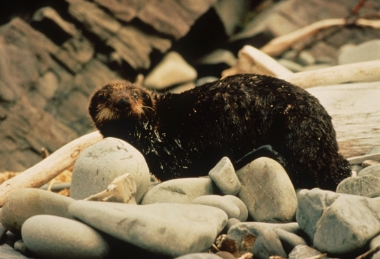 Oil-coated sea otter