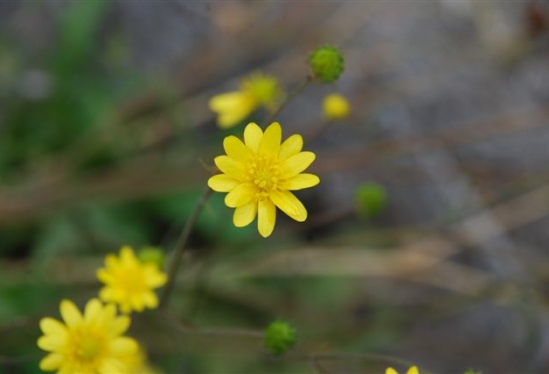 photo of Ranunculus californicus