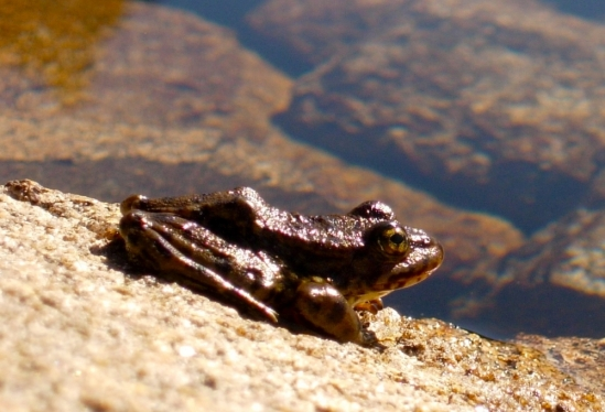 Sierra Nevada yellow-legged frog