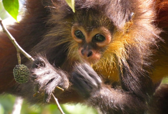 Baby spider monkey snacking while clinging to mom