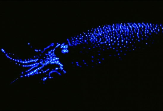 bioluminescent squid