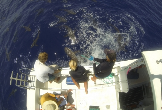 Tagging reef sharks